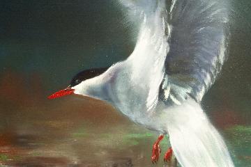 lapintiira,kajo,Arctic tern, glimmer,Sterna paradisaea